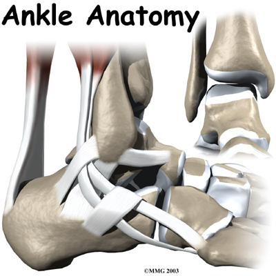 Anatomy of an Ankle