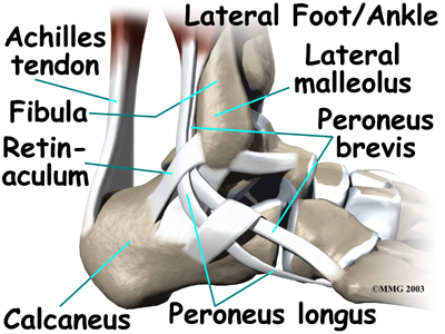 Anatomy of ankle tendon